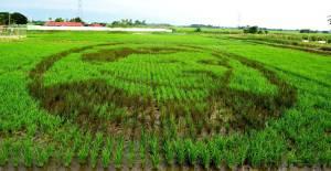 Future Rice