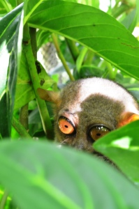 Camera-shy Tarsier ^_^